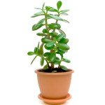 Green plant (Crassula) in a flower pot isolated on white background